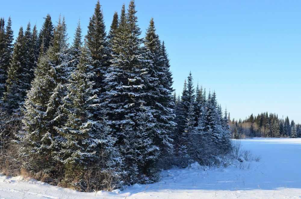 Хвойный зимный лес из сибирской ели